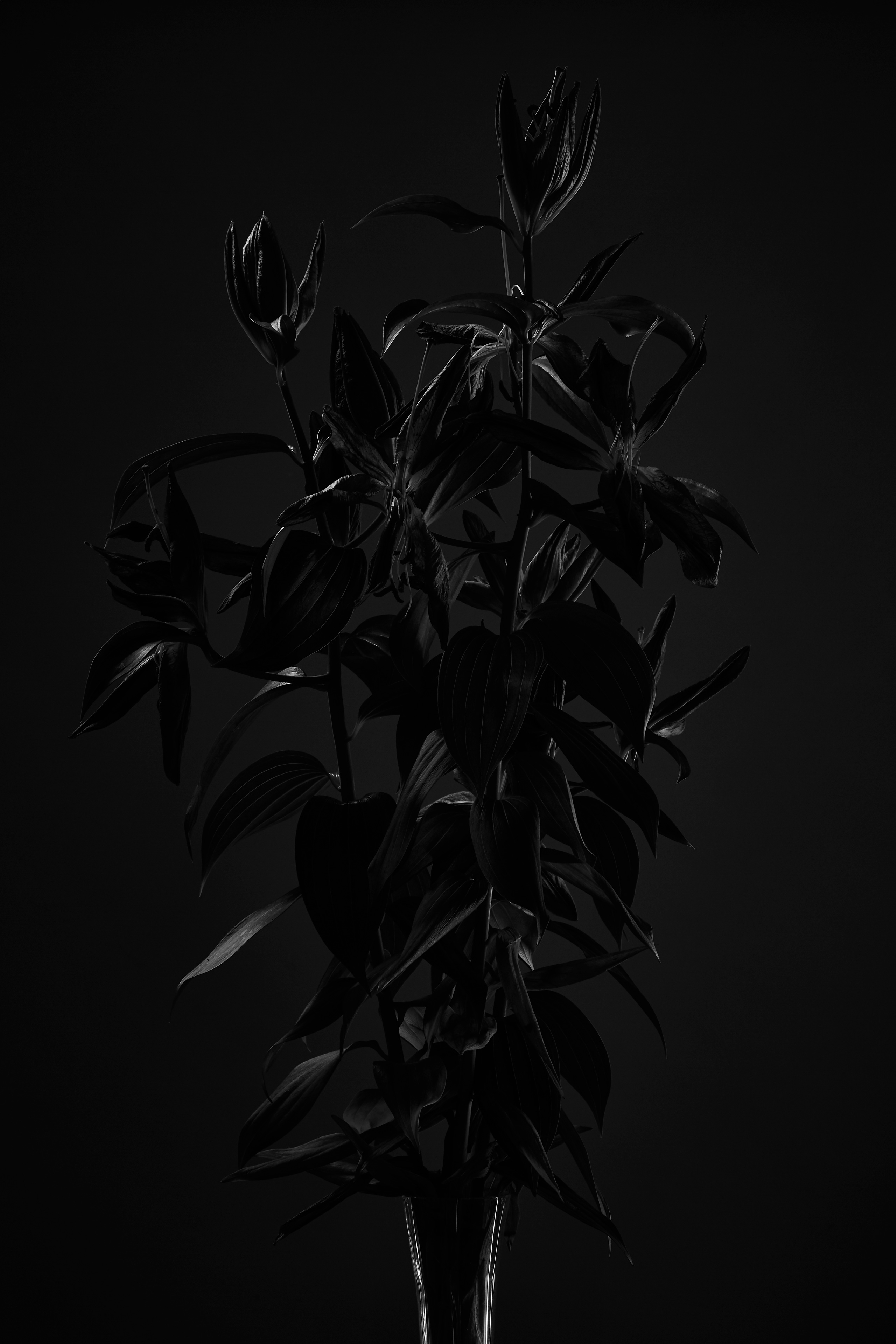 old lily flowers in black and white